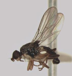 Enderleiniella n. sp. Natural history unknown