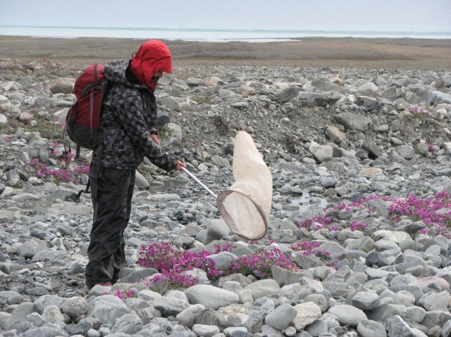 The joys of arctic fieldwork: Meagan hunting flies on Ellesmere Island