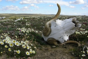 life and death on the tundra. Banks Island