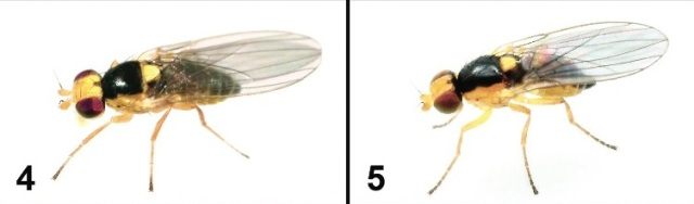 Liriomyza mystica (left) and L. prompta (right). Similar flies with different habits