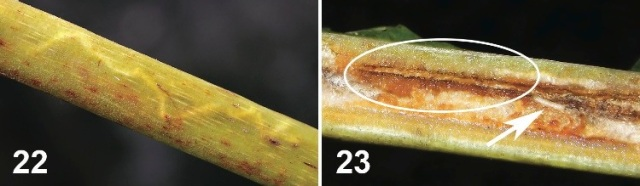 Mines of Liriomyza mystica in a thick midvein