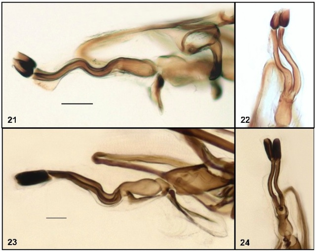 The business end. Male genitalia in some leaf-miner flies (from Boucher & Wheeler 2014)