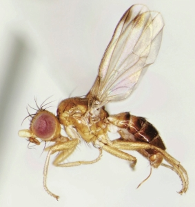 Mycetaulus subdolus. A piophilid fly. It eats dead things.