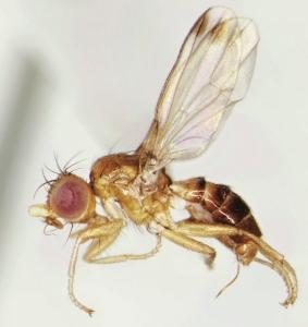 Mycetaulus subdolus. A piophilid fly. It eats dead things.